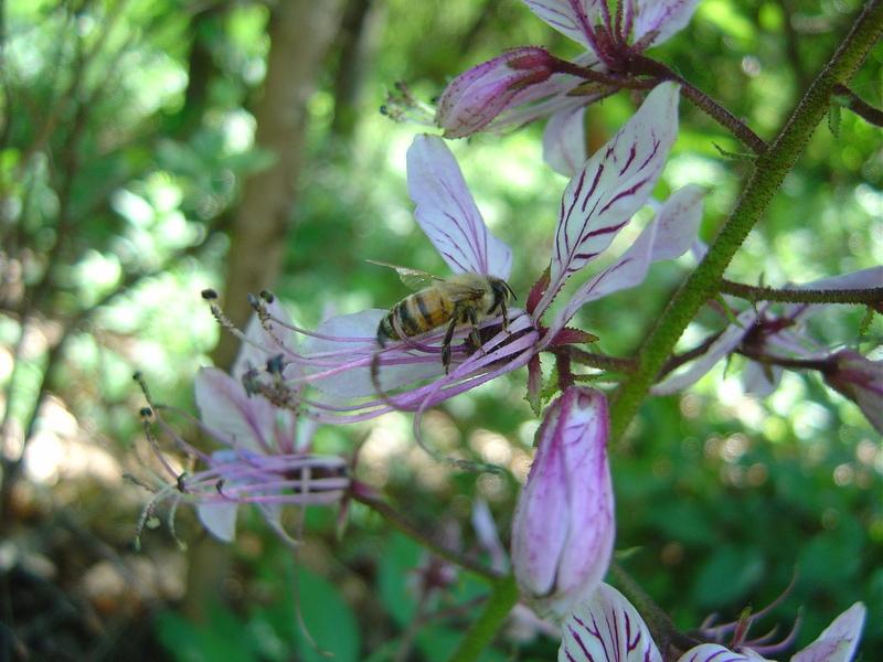 Dictamnus e ape mellifera alla ricerca di nettare
