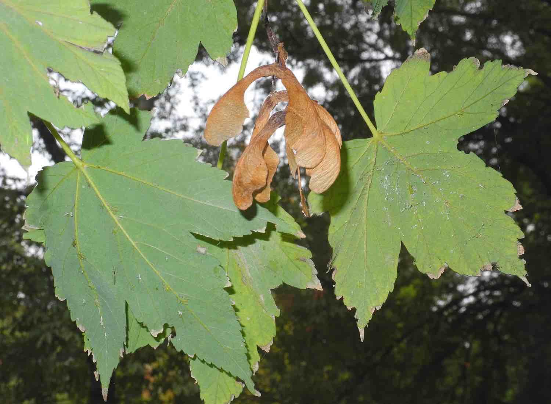 Acero riccio - Gli alberi di Bologna